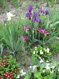 Sluit omhoog van primulabloemen en irissen in tuin Kleurrijke Sleutelbloembloemen enkel Geregend Het tuinieren van de Oekraïne Stock Afbeeldingen
