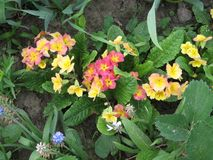 Sluit omhoog van primulabloemen in tuin Kleurrijke Sleutelbloembloemen enkel Geregend Het tuinieren van de Oekraïne Royalty-vrije Stock Foto