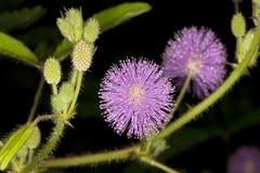 Sluit omhoog van pudica van Mimosa's Stock Afbeelding