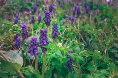 Sluit omhoog van purpere de lentebloemen die door groen landschap worden omringd stock afbeeldingen