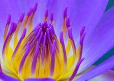 Sluit omhoog van purpere lotusbloem Stock Foto's