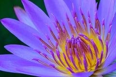 Sluit omhoog van purpere lotusbloem Stock Afbeeldingen