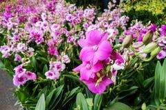 Sluit omhoog van purpere orchideebloemen Stock Afbeelding