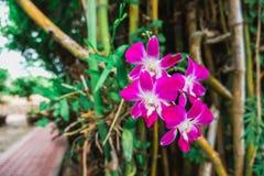 Sluit omhoog van purpere orchidsdendrobium met onscherpe achtergrond stock afbeeldingen