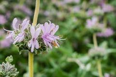 Sluit omhoog van Purpere wijze Salvia-leucophyllabloemen, Californië royalty-vrije stock afbeelding