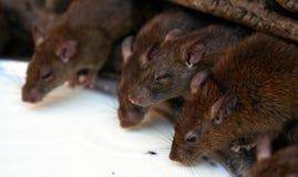 Sluit omhoog van ratten het drinken melk Stock Afbeelding