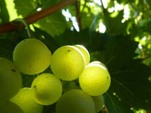 Sluit omhoog van rijpe druivencluster op wijnstok Royalty-vrije Stock Fotografie