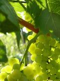 Sluit omhoog van rijpe druivencluster op wijnstok Stock Afbeeldingen