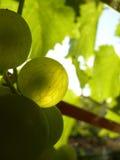 Sluit omhoog van rijpe druivencluster op wijnstok Royalty-vrije Stock Afbeelding