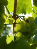 Sluit omhoog van rijpe druivencluster op wijnstok Stock Foto