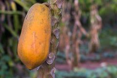 Sluit omhoog van rijpe papaja op aardachtergrond Geel papajafruit op de boom stock afbeelding