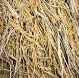 Sluit omhoog van rijpe rijst, Thailand Stock Foto