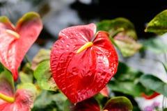 Sluit omhoog van Rode Anthuriumbloem in botanische tuin Royalty-vrije Stock Foto's