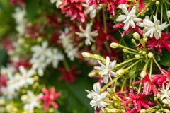 sluit omhoog van rode en witte bloem (de Chinese honing zoogt, Rangoon C Royalty-vrije Stock Fotografie