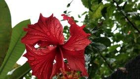 Sluit omhoog van Rode hibiscusbloem in een Balinese tuin De achtergrond van de bloem Tropisch Eiland Bali, Indonesië stock footage