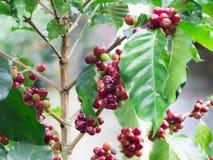 Sluit omhoog van rode koffieboon Stock Foto