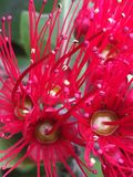 Sluit omhoog van rode pohutukawabloemen Stock Afbeeldingen