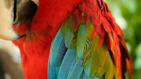 Sluit omhoog van Rode Scharlaken de Arapapegaai of Aronskelken Macao van Amazonië, in het tropische Kleurrijke portret van het wi stock video