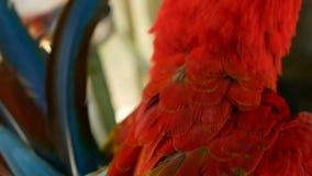 Sluit omhoog van Rode Scharlaken de Arapapegaai of Aronskelken Macao van Amazonië, in het tropische Kleurrijke portret van het wi stock videobeelden