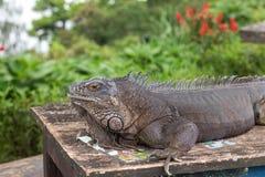 Sluit omhoog van rotsleguaan als de Cubaanse grondleguaan die ook wordt bekend Buiten Tropisch eiland Bali, Indonesië stock afbeeldingen