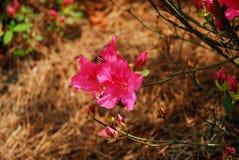 Sluit omhoog van roze bloem stock afbeeldingen