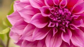 Sluit omhoog van roze bloem: aster met roze bloemblaadjes en geel hart voor achtergrond of textuur Royalty-vrije Stock Afbeeldingen
