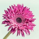 Sluit omhoog van roze bloembloei Royalty-vrije Stock Afbeelding