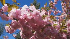 Sluit omhoog van Roze Bloesem Cherry Tree Branch, Sakura, tijdens Lentetijd op Roze Achtergrond stock footage