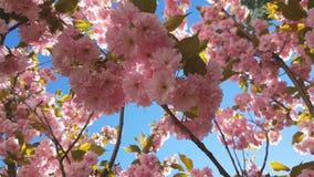 Sluit omhoog van Roze Bloesem Cherry Tree Branch, Sakura, tijdens Lentetijd op Roze Achtergrond stock videobeelden