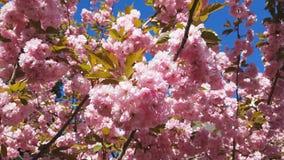 Sluit omhoog van Roze Bloesem Cherry Tree Branch, Sakura, tijdens Lentetijd op Roze Achtergrond stock video