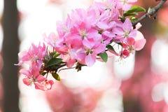 Sluit omhoog van roze crabapplebloesems in de lente Stock Foto's