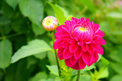 Sluit omhoog van roze dahlia Stock Afbeelding