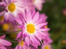 Sluit omhoog van Roze en gele Chrysantenbloemen Stock Afbeelding