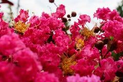 Sluit omhoog van Roze Lagerstroemia 7 Royalty-vrije Stock Foto's