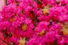 Sluit omhoog van Roze Lagerstroemia 8 Stock Afbeelding
