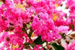 Sluit omhoog van Roze Lagerstroemia 6 Royalty-vrije Stock Foto
