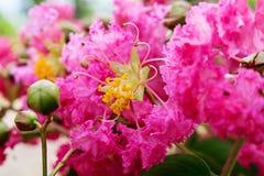 Sluit omhoog van Roze Lagerstroemia 5 Royalty-vrije Stock Foto