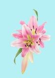 Sluit omhoog van roze leliesillustratie Royalty-vrije Stock Afbeeldingen