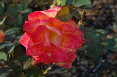 Sluit omhoog van roze oranjegele bloem royalty-vrije stock foto