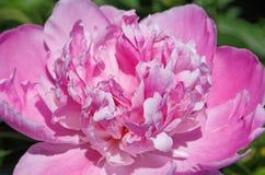 Sluit omhoog van Roze Pioen Royalty-vrije Stock Foto's