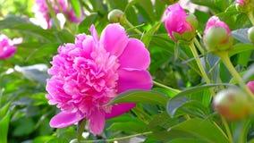 Sluit omhoog van roze pioen in een volledige bloei in tuin stock footage