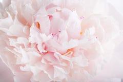 Sluit omhoog van roze pioenbloem stock foto