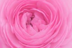 Sluit omhoog van roze ranunculus bloem Stock Afbeeldingen