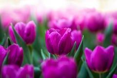 Sluit omhoog van roze tulpen in de tuin royalty-vrije stock afbeelding