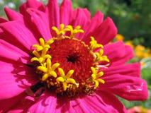 Sluit omhoog van roze Zinnia stamens Stock Fotografie
