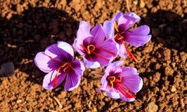 Sluit omhoog van saffraanbloemen op een gebied bij de herfst Stock Fotografie