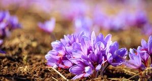 Sluit omhoog van saffraanbloemen op een gebied bij de herfst Stock Foto's