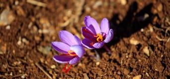 Sluit omhoog van saffraanbloemen op een gebied bij de herfst Royalty-vrije Stock Foto's