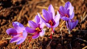 Sluit omhoog van saffraanbloemen op een gebied bij de herfst Royalty-vrije Stock Afbeelding