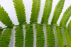 Sluit omhoog van Samenstellings Geveerde groene bladeren, pamfletten in rijen, twee bij uiteinde Witte achtergrond Horizontale vo stock afbeeldingen